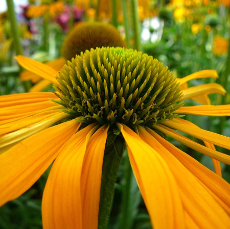 Echinacea 'Now Cheesier' (grote pot) - zonnehoed