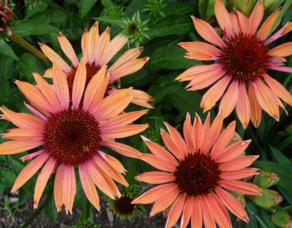 Echinacea 'Sundown' (grote pot) - zonnehoed