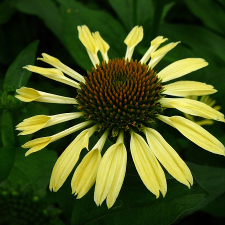 Echinacea 'Yellow Spider' (grote pot) - zonnehoed