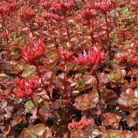 Sedum spurium 'Schorbuser Blut' - vetkruid