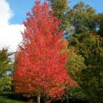 Hoe plant ik bomen met een opvallende herfstkleur? Hoe kies ik een boom met een opvallende herfstkleur?