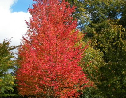 Acer rubrum 'October Glory' - rode esdoorn