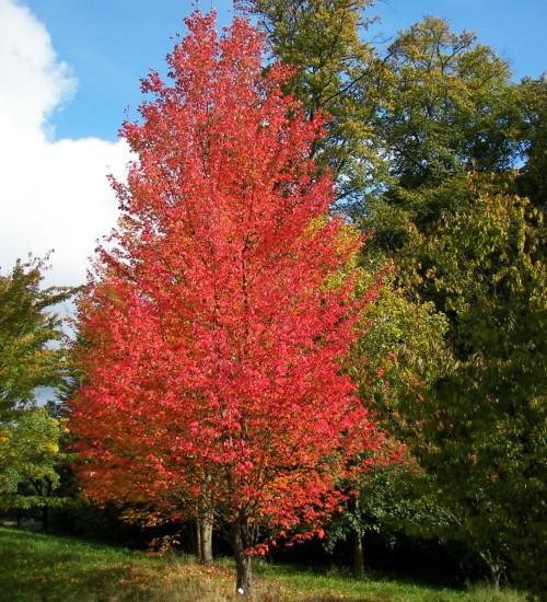 Acer rubrum 'October Glory' - rode esdoorn