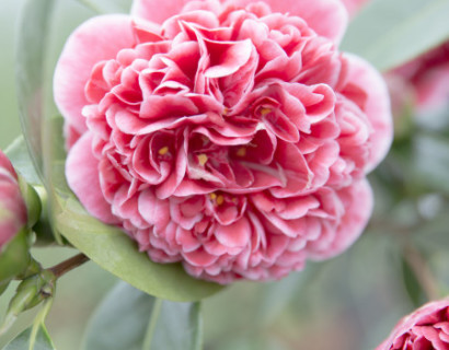 Camellia japonica 'Volunteer' - Camellia