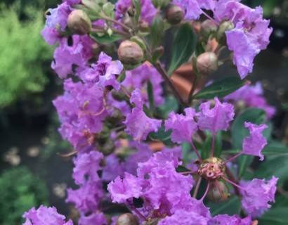 Lagerstroemia indica 'Cordon Blue' op stam - lagerstroemia