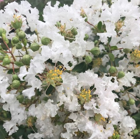 Lagerstroemia indica 'Pixie' op stam - lagerstroemia