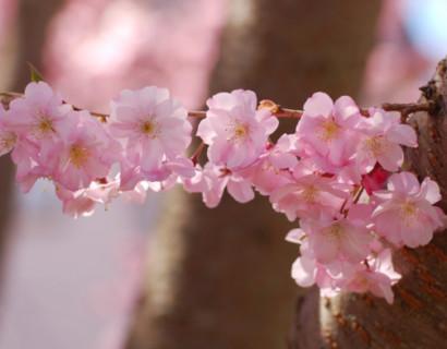 Prunus 'Accolade' - Japanse sierkers