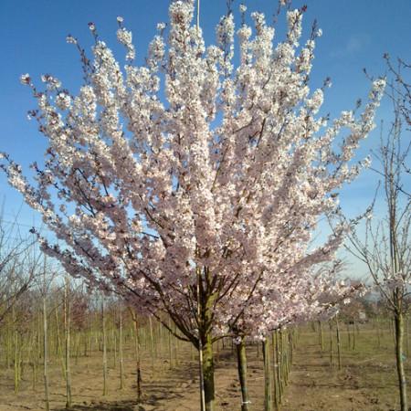 Prunus 'Pandora' - Japanse sierkers