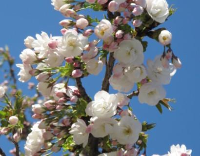 Prunus serrulata 'Shirotae' - Japanse sierkers