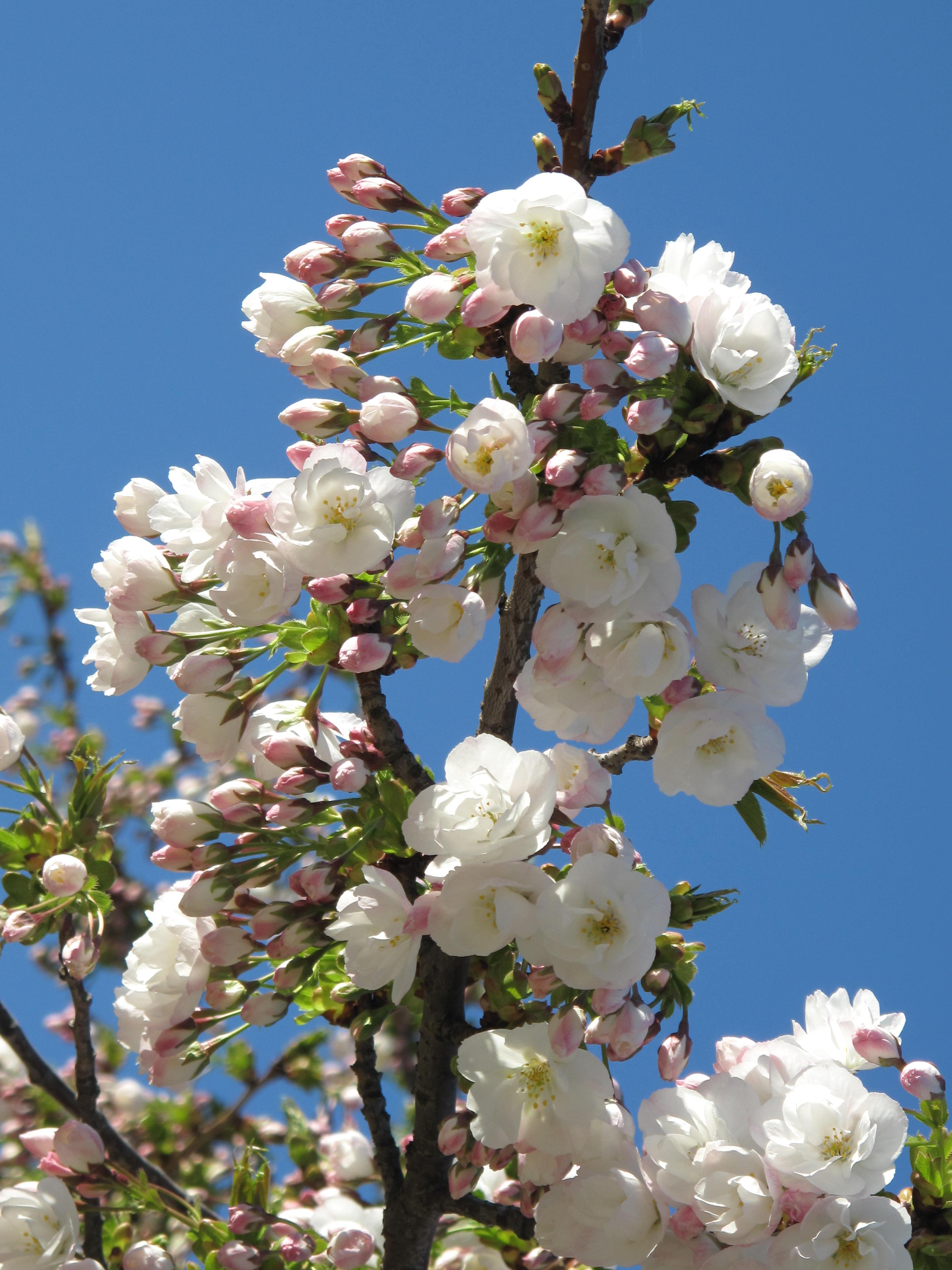 Prunus serrulata 'Shirotae'.