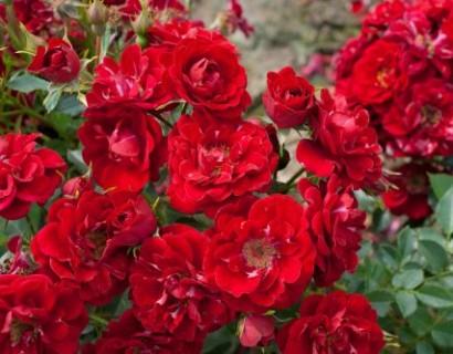 Rosa 'The Fairy' rood - bodembedekkende roos