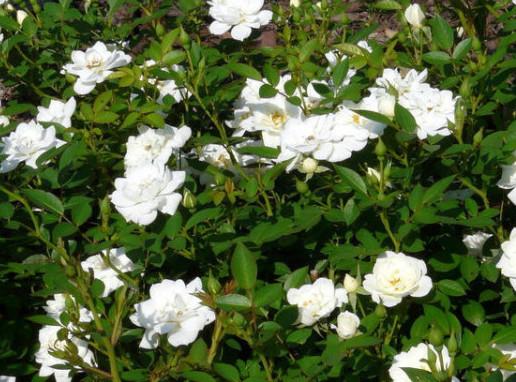 Rosa 'The Fairy' wit - bodembedekkende roos