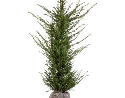 Taxus baccata kluit 150/175 cm - venijnboom