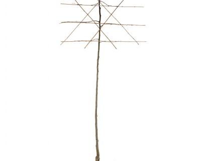 Tilia vulgaris 'Pallida' leilinde