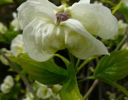 Cornus florida 'Alba Plena'