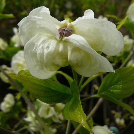 Cornus florida 'Alba Plena' - kornoelje