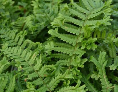 Dryopteris affinis 'The King' - geschubde mannetjesvaren