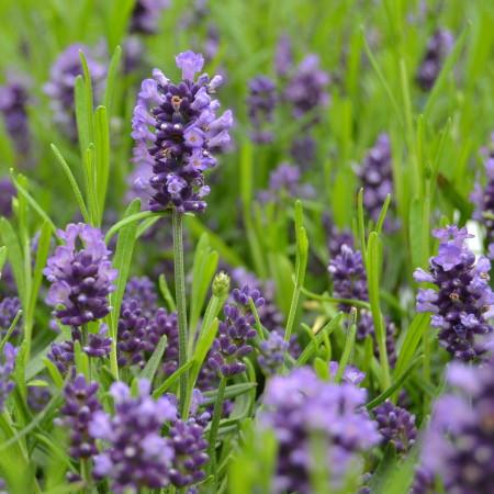 Lavandula angustifolia 'Felice' - Lavendel