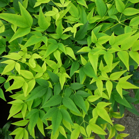 Nandina domestica 'Lemon & Lime' - schijnbamboe