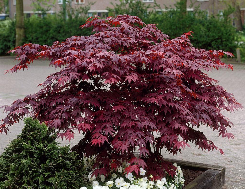 Acer palmatum 'Bloodgood' rode japanse esdoorn