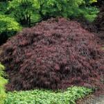 Rode Japanse esdoorns: Acer palmatum 'Dissectum Garnet', 'Atropurpureum', 'Shaina' en 'Bloodgood'.