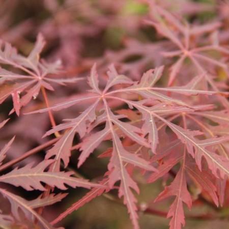 Acer palmatum 'Firecracker' - Japanse esdoorn