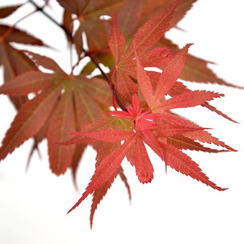 Acer palmatum 'Skeeter's Broom' - Japanse esdoorn
