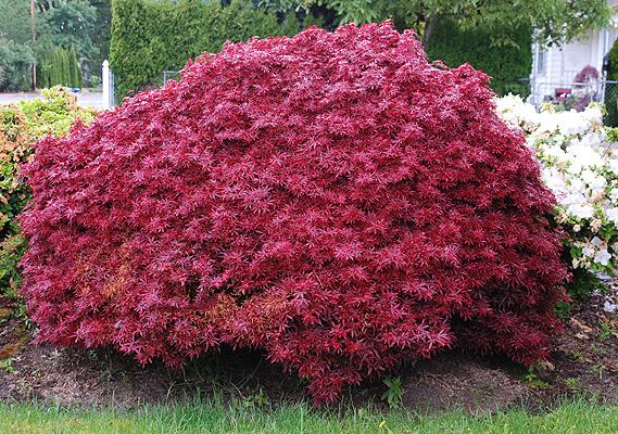 Acer palmatum 'Shaina' rode japanse esdoorn