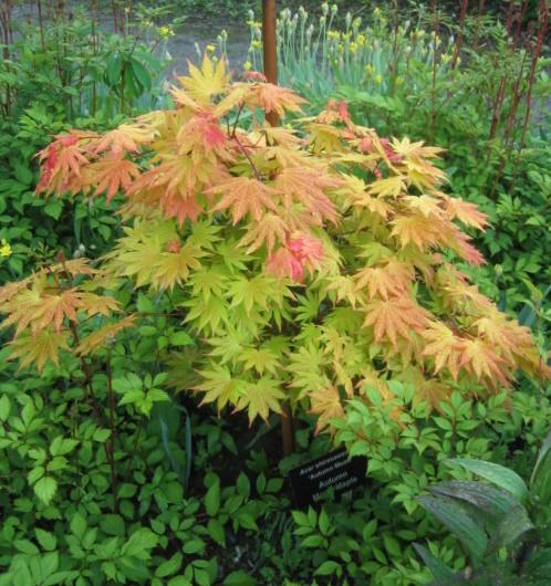 Acer shirasawanum 'Autumn Moon' - Japanse esdoorn