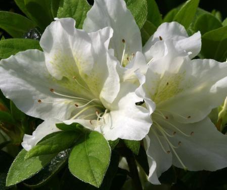 Azalea japonica 'Mary Helen' - azalea