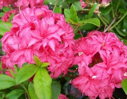 Heeft u informatie over Azalea en Rhododendron?