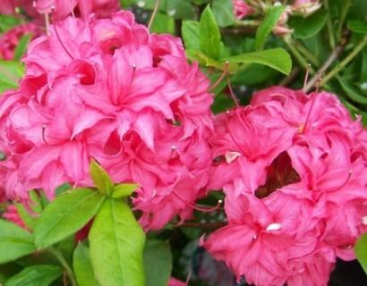 Azalea knaphill 'Homebush' - azalea