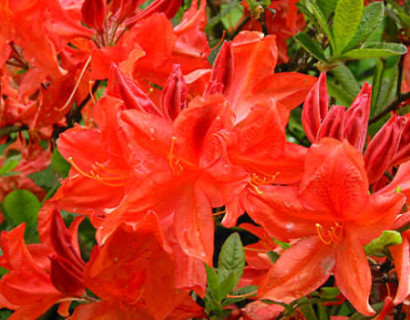Azalea knaphill 'Koster's Brilliant Red' - azalea