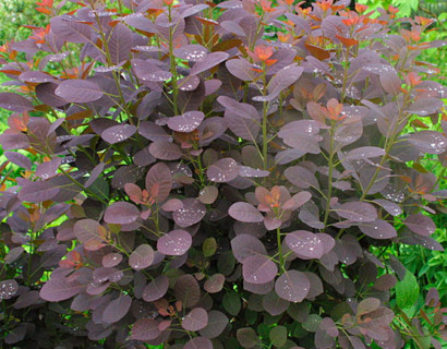 Cotinus coggygria 'Royal Purple' stam - pruikenboom