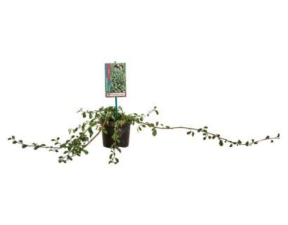Cotoneaster dammeri 'Major' pot