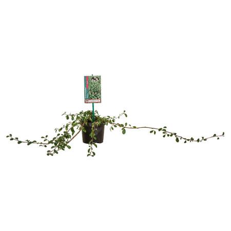 Cotoneaster dammeri 'Major' pot 1 liter