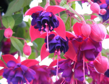 Fuchsia 'Dollar Princess'  (grote pot) - Bellenplant