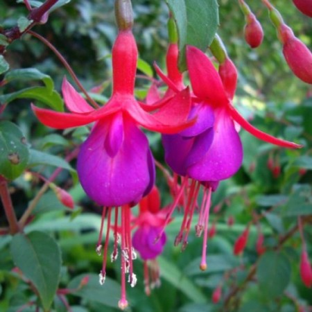 Fuchsia 'Mrs Popple'  (grote pot) - Bellenplant