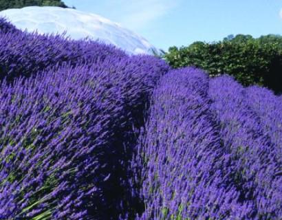 Lavandula x intermedia 'Grosso' - Lavendel