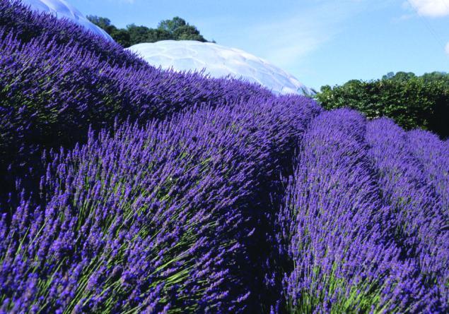 hoe lavendel planten