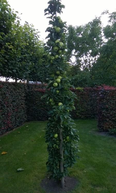 Malus domestica 'Bolero' - zuilvormige appelboom, Ballerina appelboom