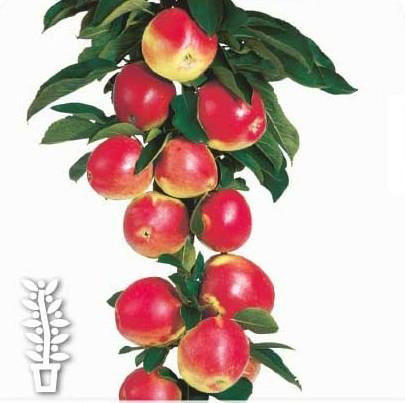 Malus domestica 'Kordona' - zuilvormige appelboom, Ballerina appelboom