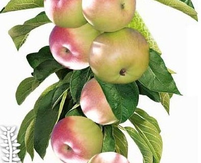 Malus domestica 'McIntosh' Ballerina zuilboom - zuilvormige appelboom, Ballerina appelboom