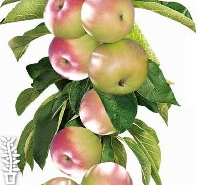 Malus domestica 'McIntosh' - zuilvormige appelboom, Ballerina appelboom