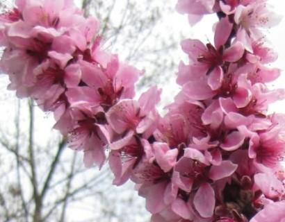 Prunus persica 'Crimson Bonfire' - dwergperzik