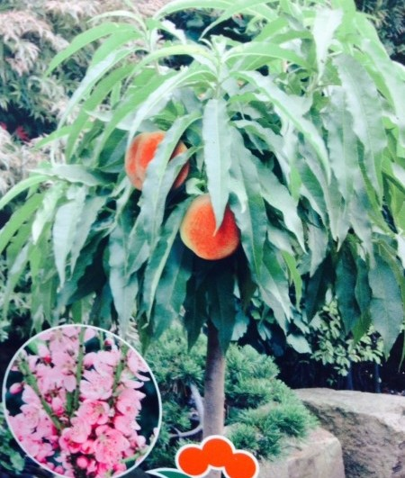 Prunus persica 'Nana' - dwergperzik