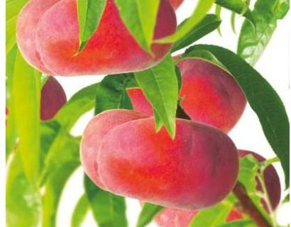 Prunus persica nuc. 'Flateryna' - platte nectarine