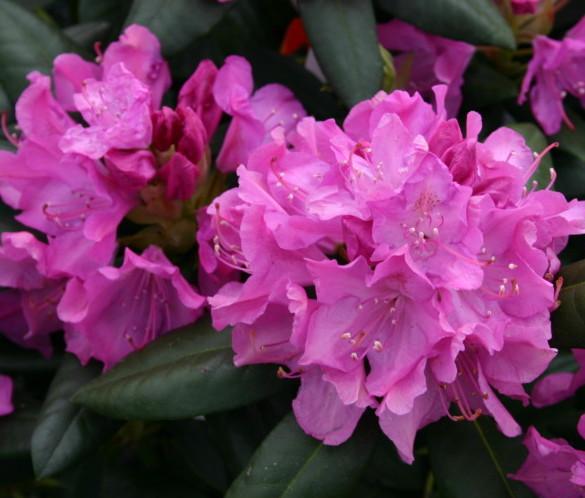 Rhododendron 'Roseum Elegans' - rhododendron