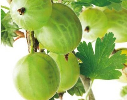 Ribes uva-crispa 'Tatjana' - Groene kruisbes, stekelbes echter zonder stekels