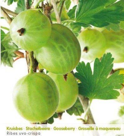 Ribes uva-crispa 'Mr. Green' - Groene kruisbes, stekelbes echter zonder stekels